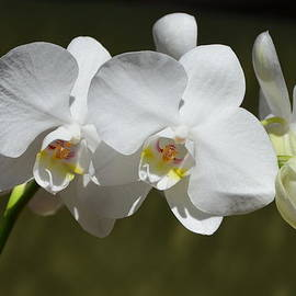 Carla Parris - Spray of Beautiful White Orchids
