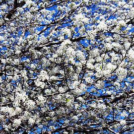 Cynthia Guinn - Spring Blossoms
