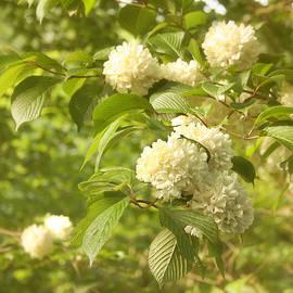 Kim Hojnacki - Spring Blossoms