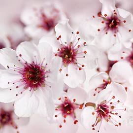 Elena Elisseeva - Spring cherry blossom