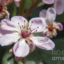 Darleen Stry - Spring Cherry Blossom mACRO