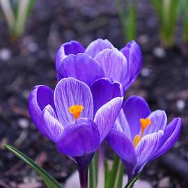 Baslee Troutman - Spring Crocus Flowers Art Prints Floral