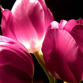 Julie Palencia - Spring Fuchsia Tulips