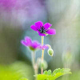 Sarah-fiona  Helme - Spring Geranium