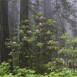 Sandra Bronstein - Spring In The Redwood National Park