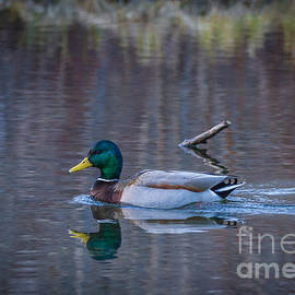 Mitch Shindelbower - Spring Mallard