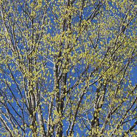 Alan L Graham - Spring Maple Tree