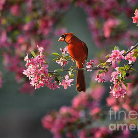 Nava Thompson - Spring Morning Cardinal