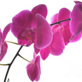 Judy Via-Wolff - Spring Orchids