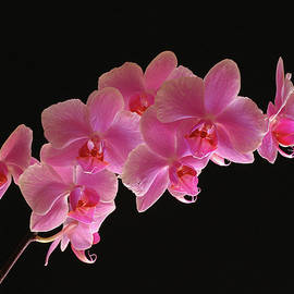 Juergen Roth - Spring Orchids