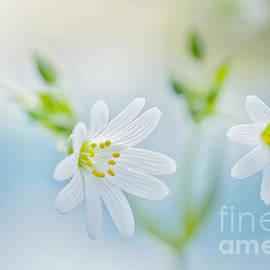 Jacky Parker - Spring Stitchwort