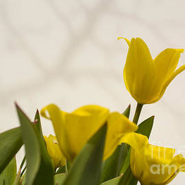 Steven Parker - Spring Tulips