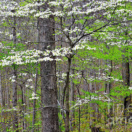 Thomas R Fletcher - Spring Woodland with Dogwood in Bloom