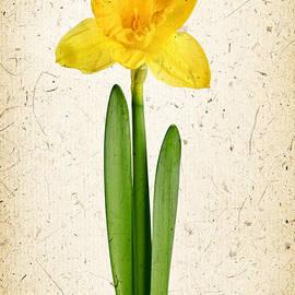 Elena Elisseeva - Spring yellow daffodil