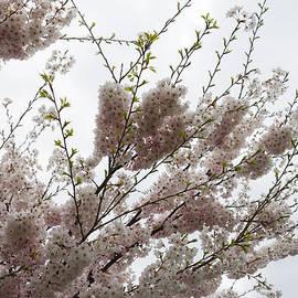 Georgia Mizuleva - Springtime Abundance - Gently Pink Cherry Blossoms