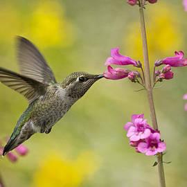 Saija  Lehtonen - Springtime Hummingbird