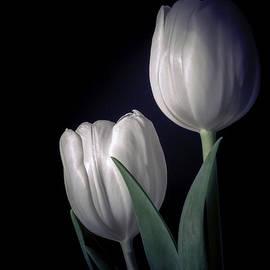 Julie Palencia - Springtime White Tulips