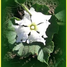 Peggy Beverley - Squash Blossom Flower