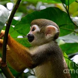 Imran Ahmed - Squirrel Monkey climbs a tree at Singapore River Safari Zoo