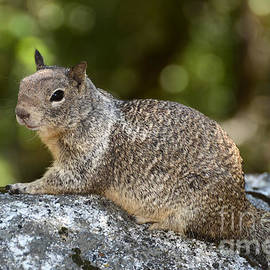 Debra Thompson - Squirrel on the Mist Trail