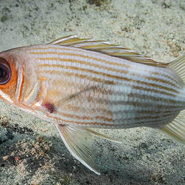 Squirrel Fish Sideview