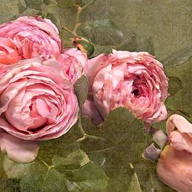 Shirley Sirois - Abraham Darby Rose