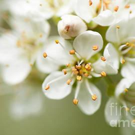 Anne Gilbert - St Lucie Cherry Blossom