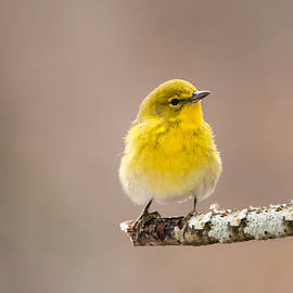 Christy Cox - Standing Tall - Pine Warbler