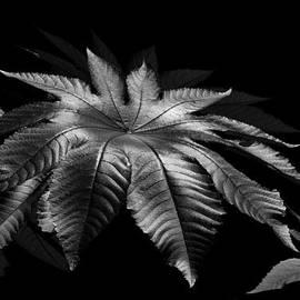 Lorenzo Cassina - Star Leaf