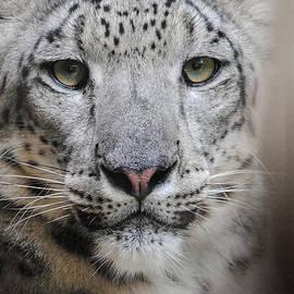 Jai Johnson - Stare Of The Snow Leopard