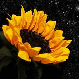 Judy Vincent - Starlight Sunflower