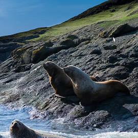 Christopher Fridley - Steller Sea Lions