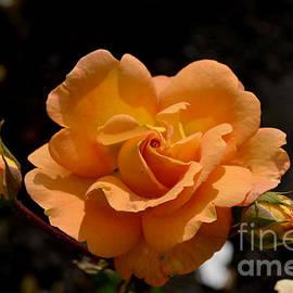 DejaVu Designs - Stirling Roses