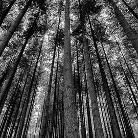 Jay Lethbridge - Stover Trees in Black and White