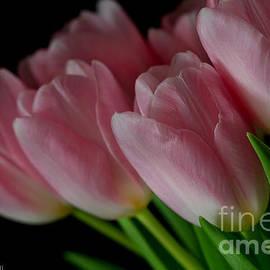 Tracy  Hall - Strawberry Tulips
