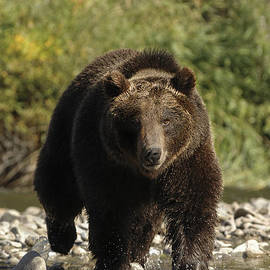 Wildlife Fine Art - Grizzly Bear - Streaming