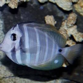 Cynthia Guinn - Striped Fish