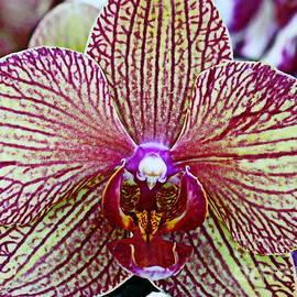 Photographic Art and Design by Dora Sofia Caputo - Striped Orchid