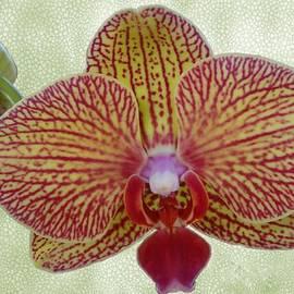 Lena Kouneva - Striped Orchid