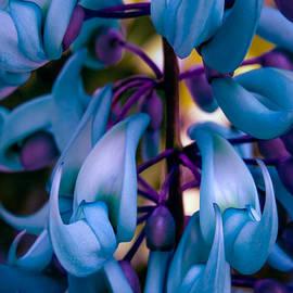 Sharon Mau - Strongylodon macrobotrys - Blue Jade Vine