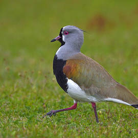 Tony Beck - Strutting Lapwing