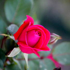 Mary Goodreau - Stunning Rose in Red