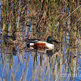 Al Powell Photography USA - Stunning Shovelers