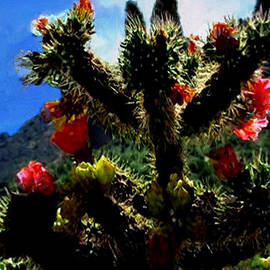 Bob and Nadine Johnston - Cholla Cactus in Full Bloom