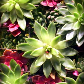 Karen Wiles - Succulent Beauties