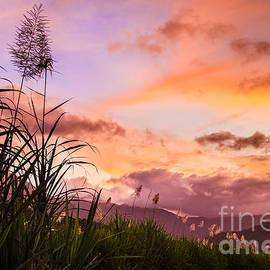 Peta Thames - Sugar Cane in Far North Queensland