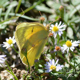 Ruth  Housley - Sulphur Butterfly