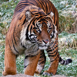 Athena Mckinzie - Sumatran Tiger On The Prowl