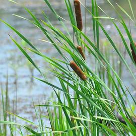 Maria Urso  - Summer Cattails in the Breeze