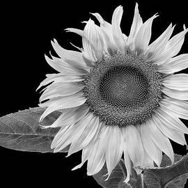 David Mullen  - Summer Sunflower